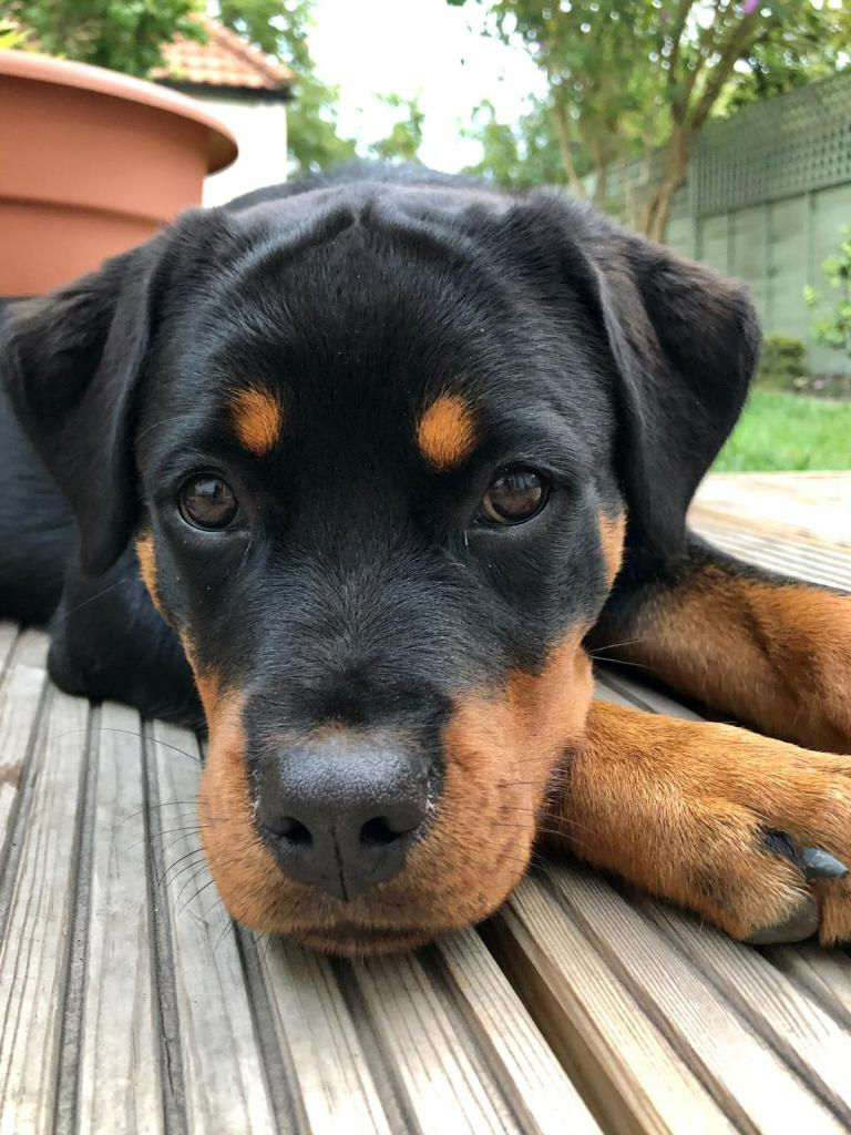 Our gorgeous Rottie puppy Roxy, resting after an awesome training session working on the Box Step and Recall.